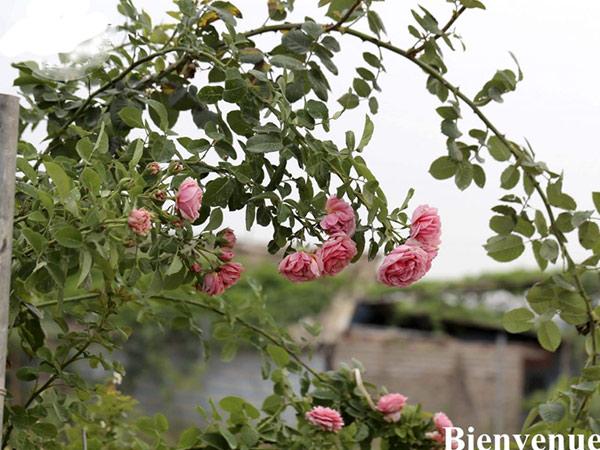 Cây Hoa Hồng Leo Bienvenue