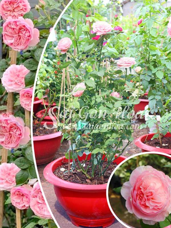 Cây Hoa Hồng Carey