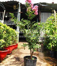 Cay Hoa Tuong Vi Hong
