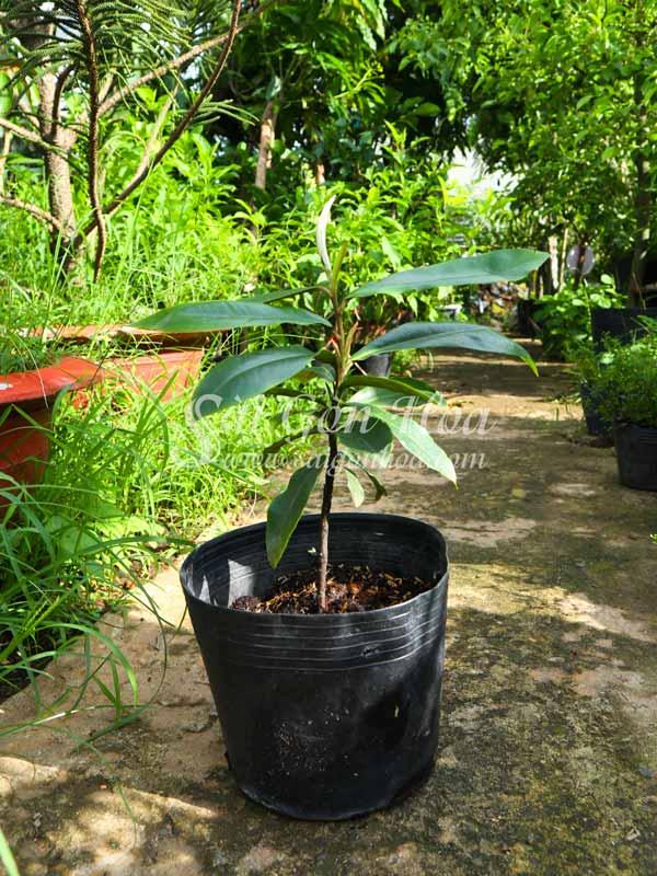 Cây Hồng Nhung
