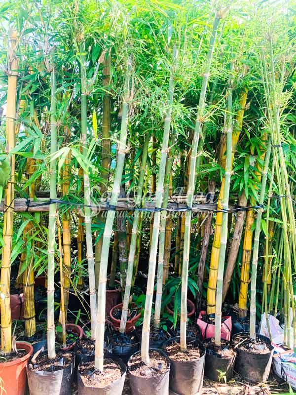 Cây Tầm Vông Trồng Sân Vườn