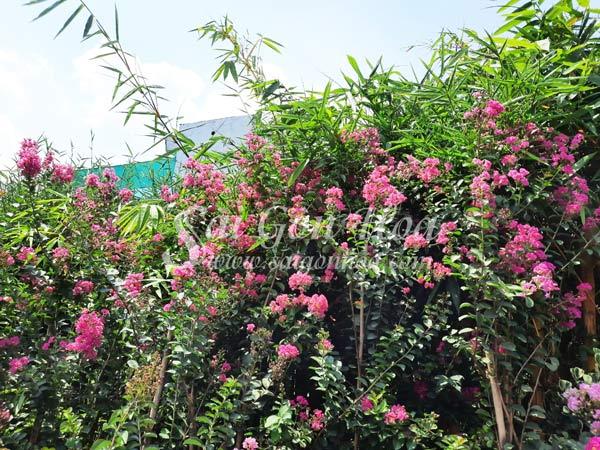 Cây Tường Vi Hoa Hồng