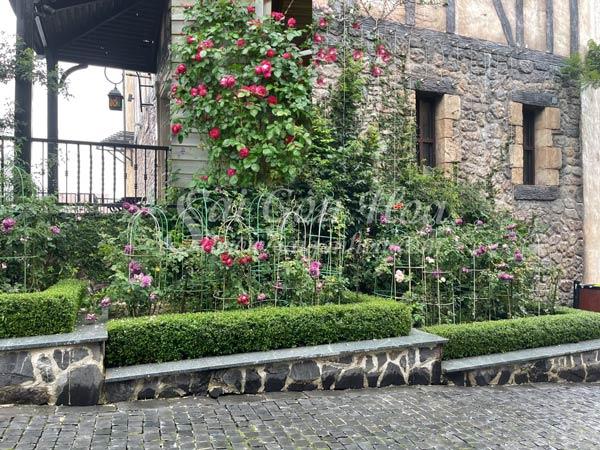 Cây Hoa Hồng Red Eden