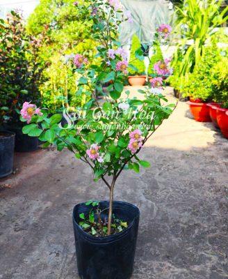 Hinh San Pham Cay Tuong Vi Hoa Tim