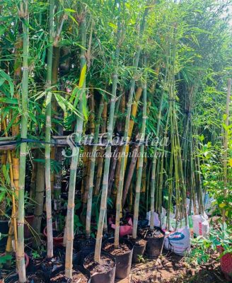 Noi Cung Cap Cay Tam Vong