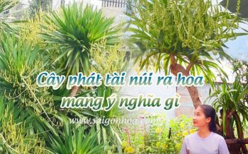 Cay Phat Tai Nui Ra Hoa Y Nghia