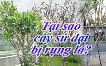 Cay Su Dai Rung La