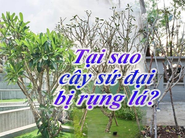 Cay-Su-Dai-Bi-Rung-La