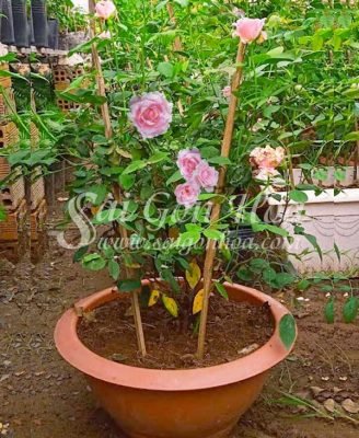 Chau Cay Hoa Hong Nu Hoang