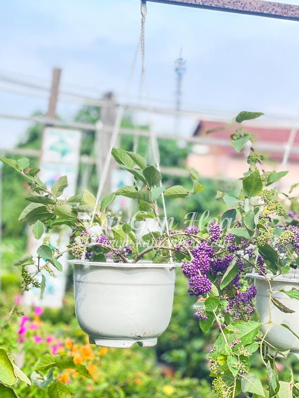 Cây Ngọc Long Châu