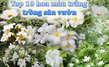Top 10 Hoa Mau Trang Cho San Vuon