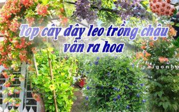 Top Cay Day Leo Trong Chau Van Ra Hoa Dep