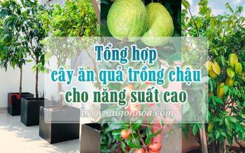 Cay An Qua Trong Chau Cho Nang Suat