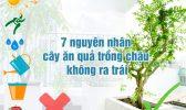 Cay An Qua Trong Chau Khong Ra Trai