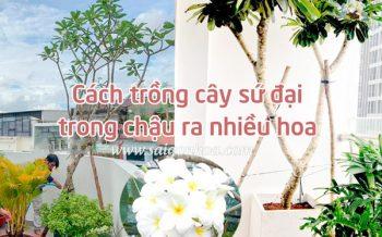 Cay Su Dai Trong Chau Nhieu Hoa