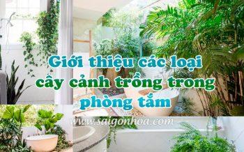 Cay Trong Phong Tam