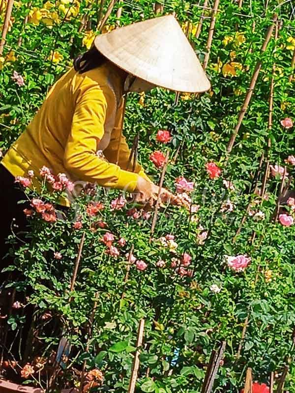 Chăm Sóc Cây Hoa Hồng Claude Monet