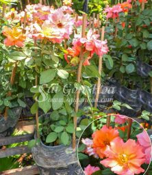 Hoa Hong Floribunda Jumpin Jack
