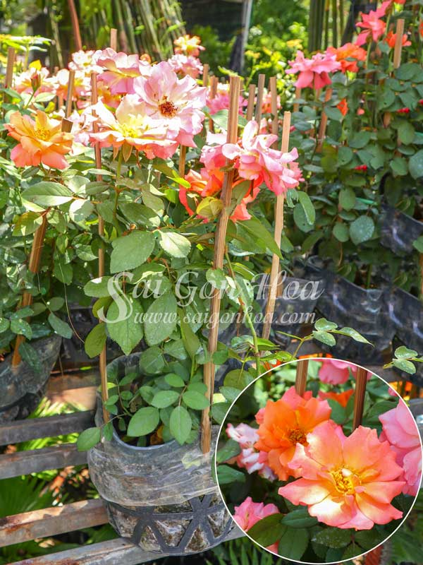 Cây Hoa Hồng Floribunda Jumpin Jack