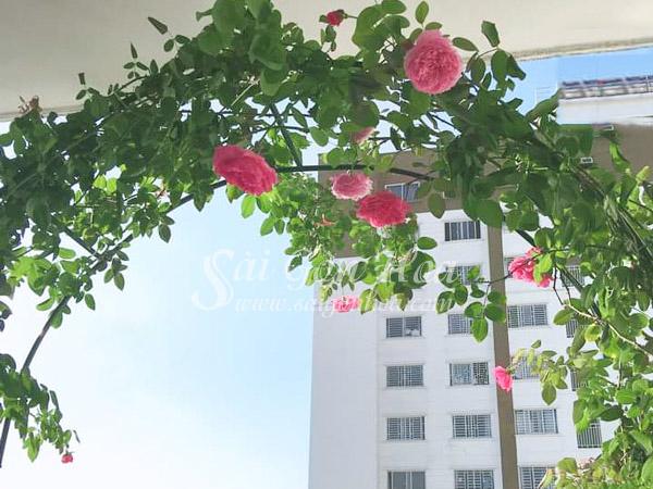 Hoa Hồng Leo Cổng