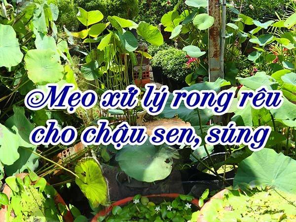 Mẹo Xử Lý Ốc Và Rong Rêu Gây Hại Trong Chậu Sen Súng