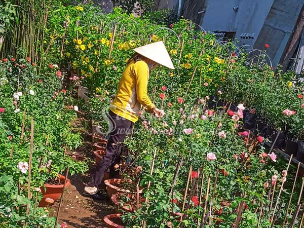 Nơi Cung Cấp Cây Hoa Hồng Claude Monet