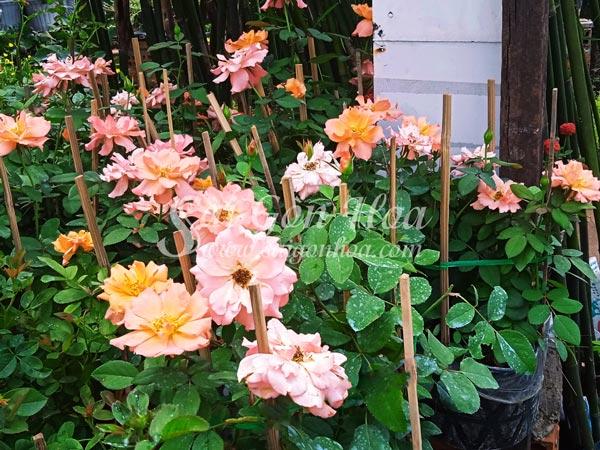 Vườn Cây Hoa Hồng Floribunda Jumpin Jack