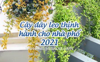 Cay Day Leo Thinh Hanh