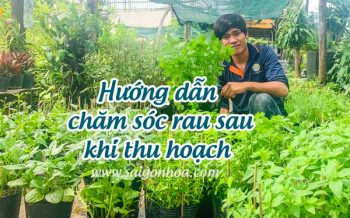 Cham Soc Rau Sau Thu Hoach