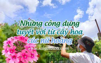 Cong Dung Tu Cay Hoa Cuc Nu Hoang