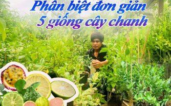 Phan Biet 5 Giong Cay Chanh