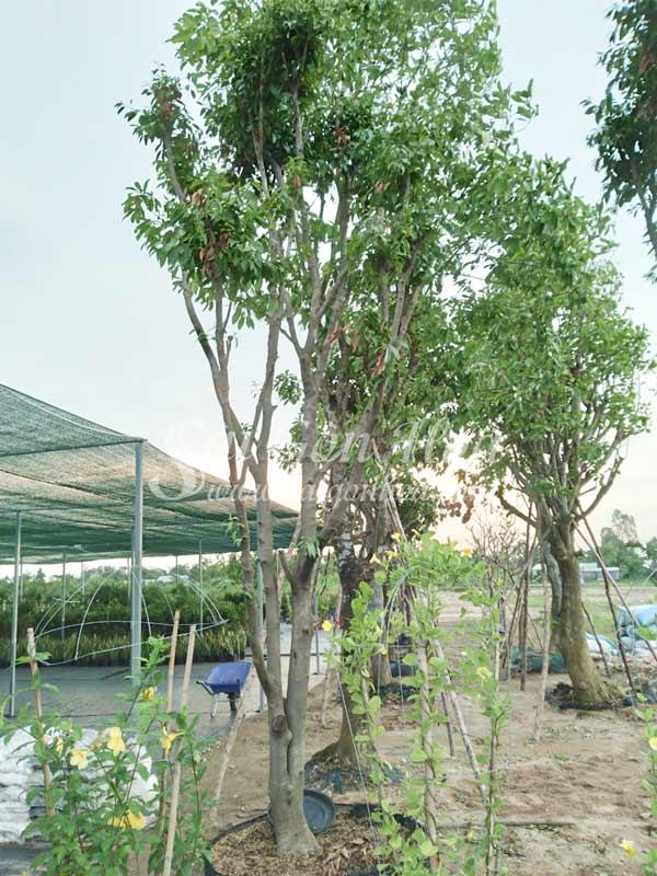 Cây Thanh Trà Thái