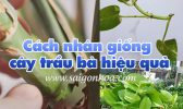 Cach Nhan Giong Cay Trau Ba