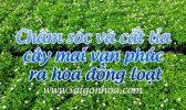 Cat Tia Mai Van Phuc