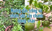 Huong Dan Trong Cay Chanh Trong Chau