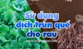 Su Dung Dich Trun Que Cho Rau