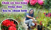 Hoa Hong Trong Chau
