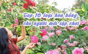 Top 10 Loai Hoa Hong